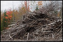 Pile of cut branches. Maine, USA (color)