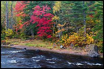 Trees in fall foliage on riverbank of East Branch Penobscot River. Katahdin Woods and Waters National Monument, Maine, USA ( color)