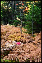 Ferns, maples, and spruce in autumn. Katahdin Woods and Waters National Monument, Maine, USA ( color)