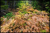 Ferns in autumn, Esker Trail. Katahdin Woods and Waters National Monument, Maine, USA ( color)
