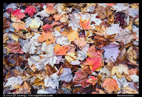 Tapestry of colorful fallen leaves. Katahdin Woods and Waters National Monument, Maine, USA (color)