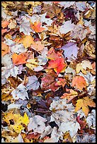 Dense fallen leaves on ground. Katahdin Woods and Waters National Monument, Maine, USA ( color)