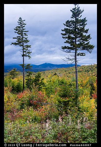 Two spruce trees amongst northern hardwood forest in autumn. Katahdin Woods and Waters National Monument, Maine, USA (color)
