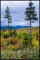 Two spruce trees amongst northern hardwood forest in autumn. Katahdin Woods and Waters National Monument, Maine, USA ( color)