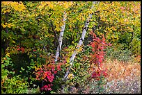 Early forest in autumn with colorful leaves. Katahdin Woods and Waters National Monument, Maine, USA ( color)