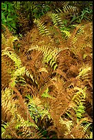 Ferns in autumn. Katahdin Woods and Waters National Monument, Maine, USA ( color)