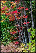 Maple with red leaves. Katahdin Woods and Waters National Monument, Maine, USA ( color)