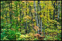 Deciduous northern hardwood forest in autumn. Katahdin Woods and Waters National Monument, Maine, USA ( color)