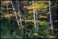 Early forest with birch trees in autumn. Katahdin Woods and Waters National Monument, Maine, USA ( color)
