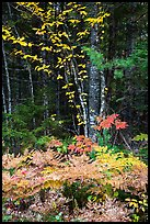 Colorful ferns and leaves. Katahdin Woods and Waters National Monument, Maine, USA ( color)