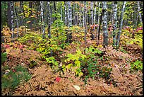 Deciduous northern hardwood forest with lush and colorful undergrowth in autumn. Katahdin Woods and Waters National Monument, Maine, USA ( color)