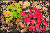 Close-up of autumn leaves. Katahdin Woods and Waters National Monument, Maine, USA ( color)