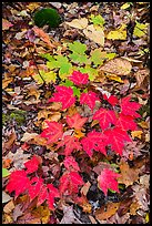 Red and green leaves on forest floor. Katahdin Woods and Waters National Monument, Maine, USA ( color)