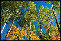 Autumn aspen and blue sky. Katahdin Woods and Waters National Monument, Maine, USA ( color)