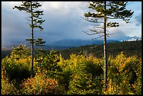 Spruce and hardwood trees, late afternoon. Katahdin Woods and Waters National Monument, Maine, USA ( color)