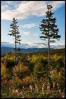 Two spruce trees standing tall above early hardwoods. Katahdin Woods and Waters National Monument, Maine, USA ( color)
