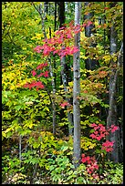 Trees with red maple leaves. Katahdin Woods and Waters National Monument, Maine, USA ( color)