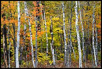 Birch trees and colorful autumn foliage. Katahdin Woods and Waters National Monument, Maine, USA ( color)