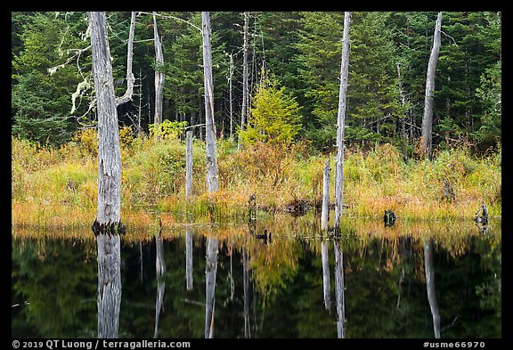 Dead trees reflected in Fist Marsh. Katahdin Woods and Waters National Monument, Maine, USA (color)