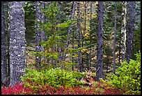 Mature spruce fir forest along esker. Katahdin Woods and Waters National Monument, Maine, USA ( color)