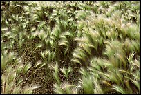 Close-up of Barley grass. North Dakota, USA ( color)