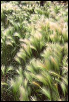 Barley grass and wind. North Dakota, USA (color)
