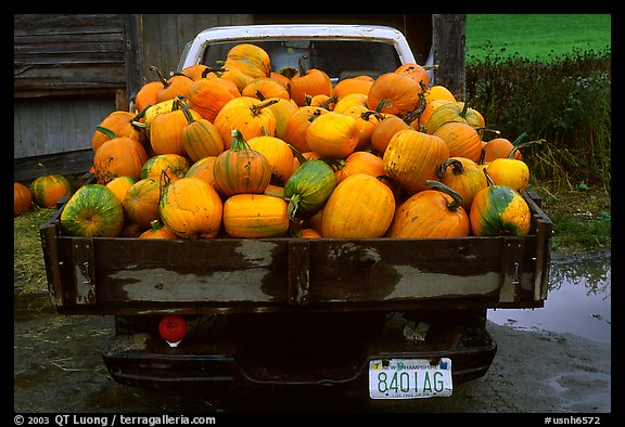 Truck loaded with pumpkins. New Hampshire, USA (color)