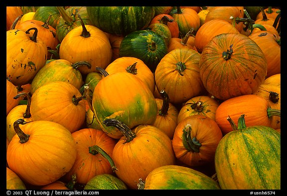 Pumpkins. New Hampshire, USA (color)