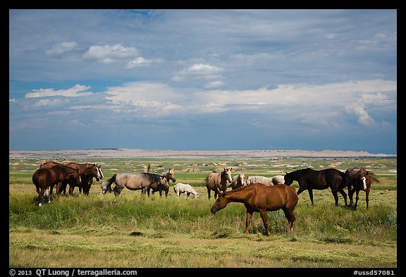 Free range horses, Pine Ridge Indian Reservation. South Dakota, USA