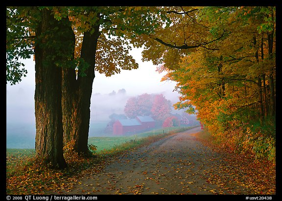 Maple trees, gravel road, and Jenne Farm, foggy autumn morning. Vermont, New England, USA (color)