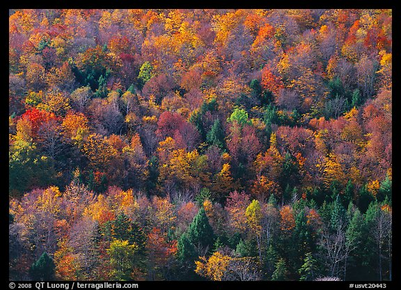 Hillside with trees in colorful fall foliage. Vermont, New England, USA (color)