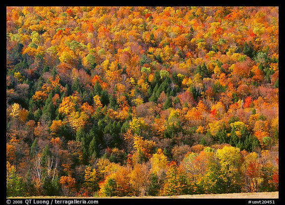Hillside with trees in brilliant fall foliage. USA (color)
