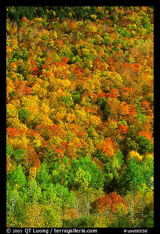Hillside covered with trees in fall color, Green Mountains. Vermont, New England, USA (color)