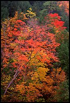 Maple tree with red leaves, Quechee Gorge. Vermont, New England, USA