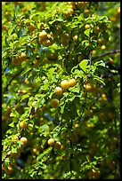 Branches with cherry plums. Hells Canyon National Recreation Area, Idaho and Oregon, USA (color)