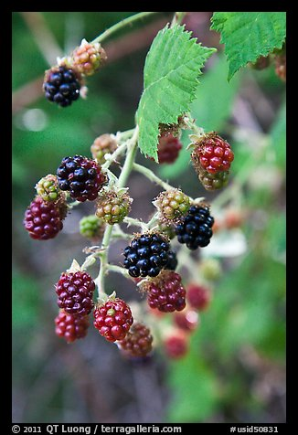 Close-up of blackberries. Hells Canyon National Recreation Area, Idaho and Oregon, USA (color)