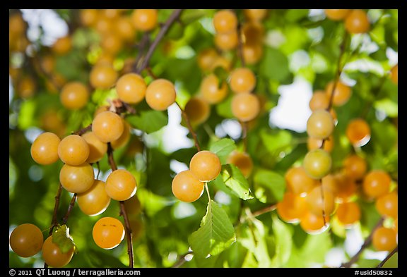 Yellow cherry plums. Hells Canyon National Recreation Area, Idaho and Oregon, USA (color)