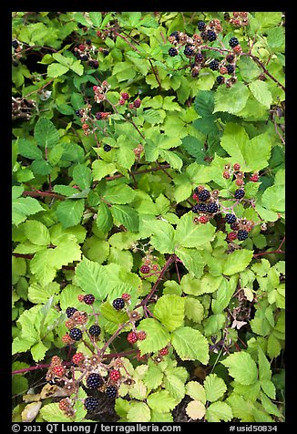 Blackberry bush. Hells Canyon National Recreation Area, Idaho and Oregon, USA (color)