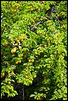 Branches of plum tree loaded with fruits. Hells Canyon National Recreation Area, Idaho and Oregon, USA (color)