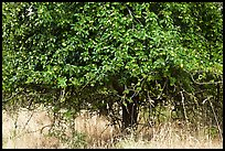 Plum tree. Hells Canyon National Recreation Area, Idaho and Oregon, USA ( color)