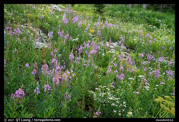 Meadow with fireweed, Face Trail. Jedediah Smith Wilderness,  Caribou-Targhee National Forest, Idaho, USA (color)