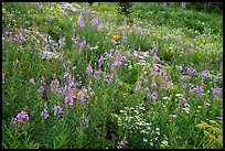 Meadow with fireweed, Face Trail. Jedediah Smith Wilderness,  Caribou-Targhee National Forest, Idaho, USA ( color)
