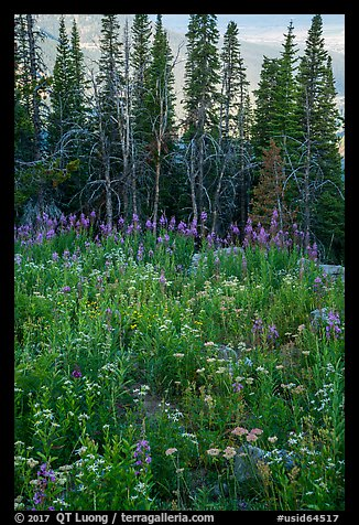 Dense wildflowers and trees, Face Trail. Jedediah Smith Wilderness,  Caribou-Targhee National Forest, Idaho, USA (color)