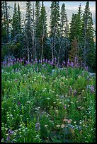 Dense wildflowers and trees, Face Trail. Jedediah Smith Wilderness,  Caribou-Targhee National Forest, Idaho, USA ( color)