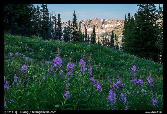 Fireweed and mountains, Face Trail. Jedediah Smith Wilderness,  Caribou-Targhee National Forest, Idaho, USA (color)