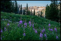 Fireweed and mountains, Face Trail. Jedediah Smith Wilderness,  Caribou-Targhee National Forest, Idaho, USA ( color)