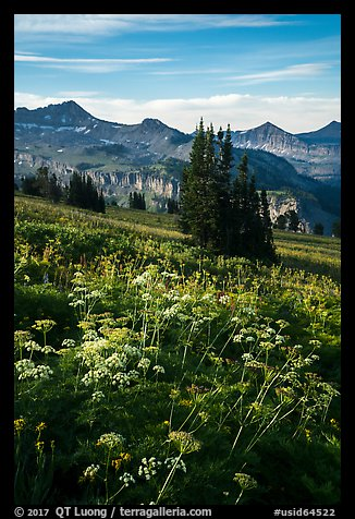 Cow parsnip and mountains, Face Trail. Jedediah Smith Wilderness,  Caribou-Targhee National Forest, Idaho, USA (color)