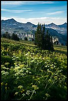 Cow parsnip and mountains, Face Trail. Jedediah Smith Wilderness,  Caribou-Targhee National Forest, Idaho, USA ( color)