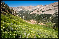 Basin with wildflowers, Huckleberry Trail. Jedediah Smith Wilderness,  Caribou-Targhee National Forest, Idaho, USA ( color)