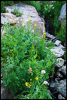 Wildflowers and stream, Huckleberry Trail. Jedediah Smith Wilderness,  Caribou-Targhee National Forest, Idaho, USA ( color)